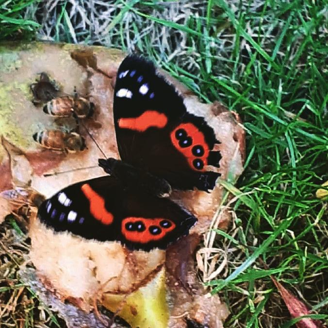 Christchurch B&B Garden butterfly Red Admiral